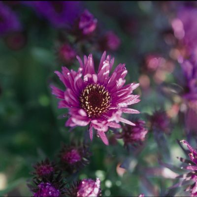 Wood's Purple Hardy Aster