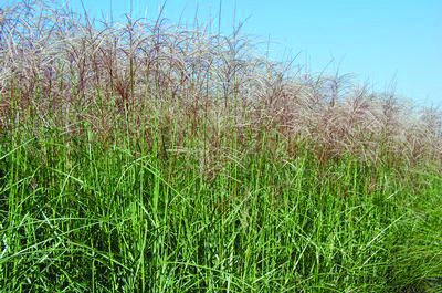 Red Silver Maiden Grass