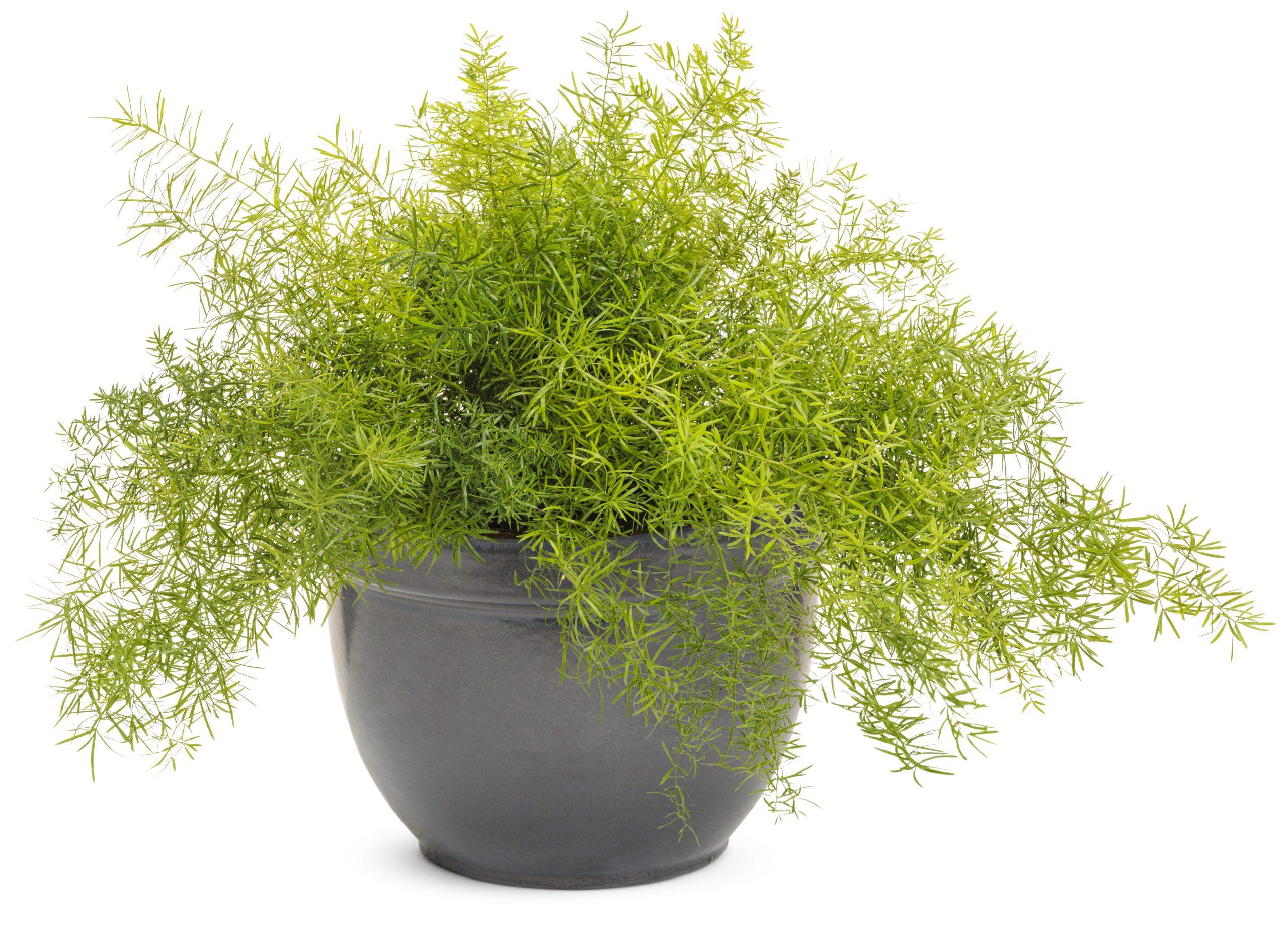 Annual_Asparagus Fern
