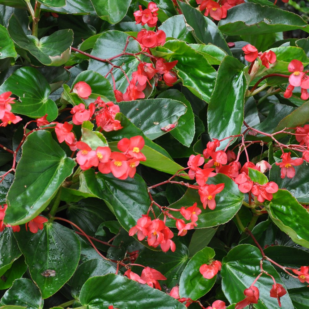 Annual_Begonia Dragon Wing Red