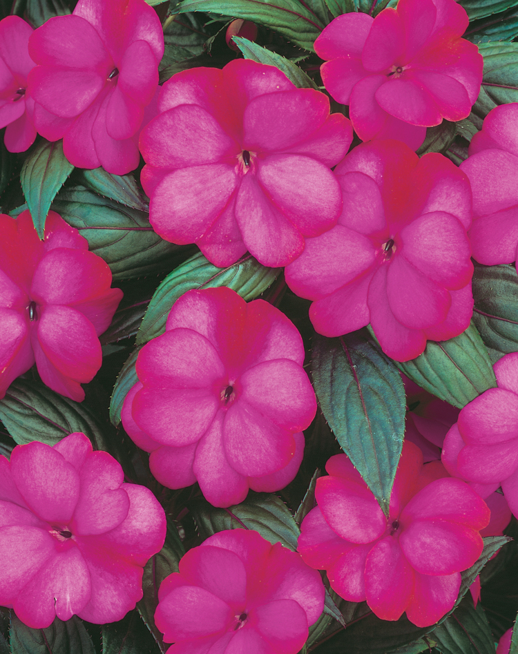 Annual_Impatiens New Guinea Infinity Blushing Lilac