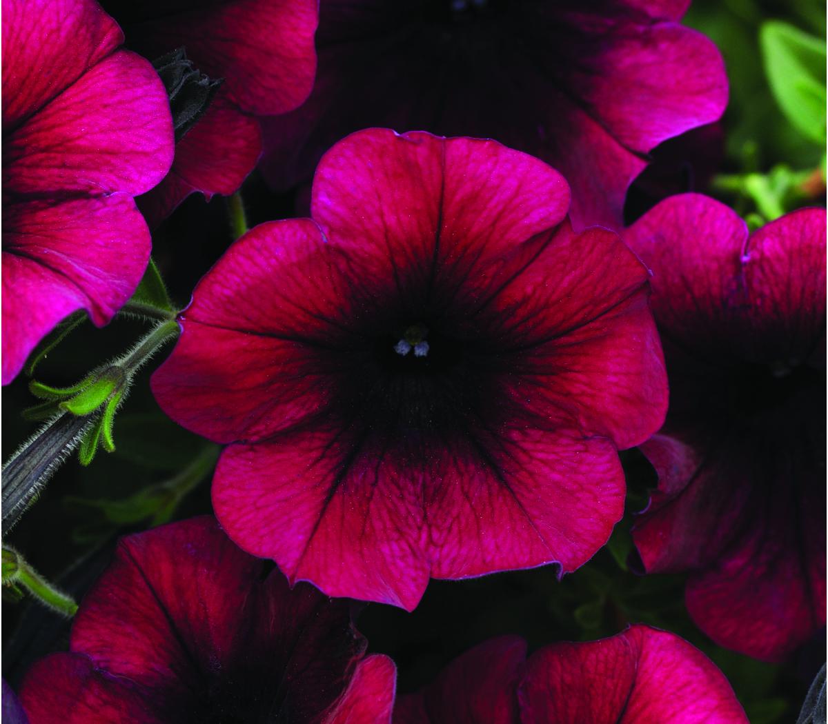 Annual_Petunia Wave Easy Wave Burgundy Velour
