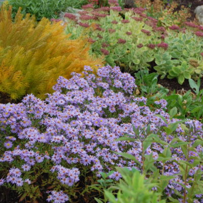 Perennial_Aster Woods Pink Hardy3
